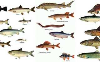 Рыбы Сибири и Дальнего Востока