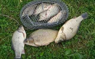 Летняя рыбалка — что нужно знать для большого улова карася?
