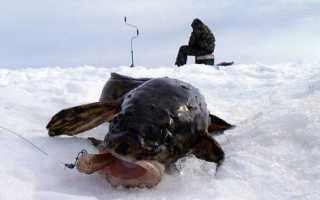 Ловля налима зимой — тактика поиска на водоеме, снасти и секреты