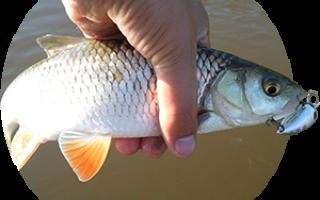 Как ловить голавля — на что клюёт голавль, зимняя, осенняя, летняя, весенняя ловля голавля рыбалка