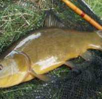 Ловля линя удочкой весной и в начале лета. Особенности, снасти и наживка для рыбалки на линей