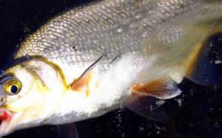 Ловля рыбца на дону осенью видео