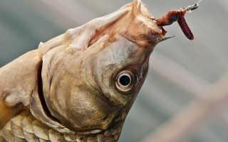 Как правильно насаживать червя на крючок для ловли разных рыб