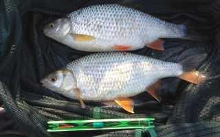 Ловля плотвы летом — читайте на Сatcher.fish