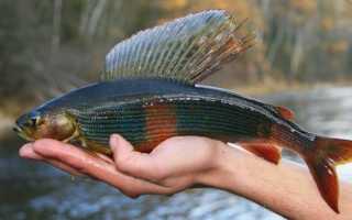 Хариус — Рыбы Сибири. Описание и способы ловли хариуса