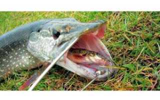 Как ловить щуку на живца: способы и оснастка