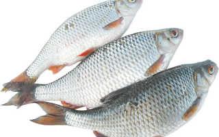 Рыба сорожка, ее описание, ловля сорожки осенью и зимой, на что ловить