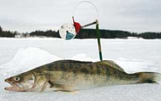 Правильная ловля судака на жерлицы зимой