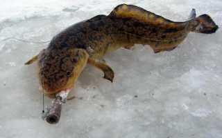 Ловля налима зимой на мормышку
