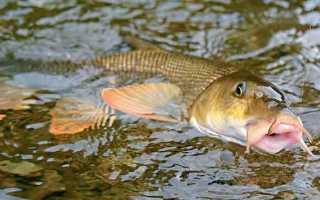 Ловля усача на озерах и реках фото видео