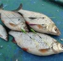 Ловля плотвы в августе — читайте на Сatcher.fish