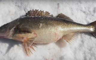 Ловля судака зимой: секреты рыбалки на судака зимой