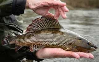 Как ловить хариуса летом — Здесь рыба