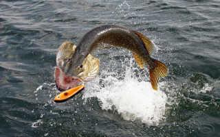 Ловля щуки спиннингом на джеркбейты (джерки) на малых водоемах