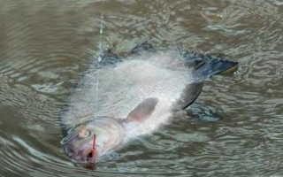 Ловля в проводку на реке с постоянной подкормкой