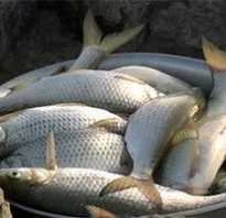 Ловля воблы — особенности и советы для успешной рыбалки